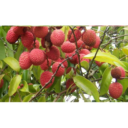 Image of Hawaii Live Plants 3 Gallon Potted Lychee Fruit Tree