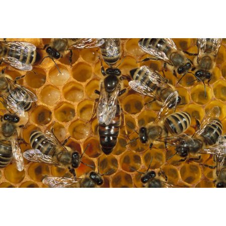 Queen Mahogany Poster - Honey Bee colony and queen on honeycomb North America Poster Print by Konrad Wothe