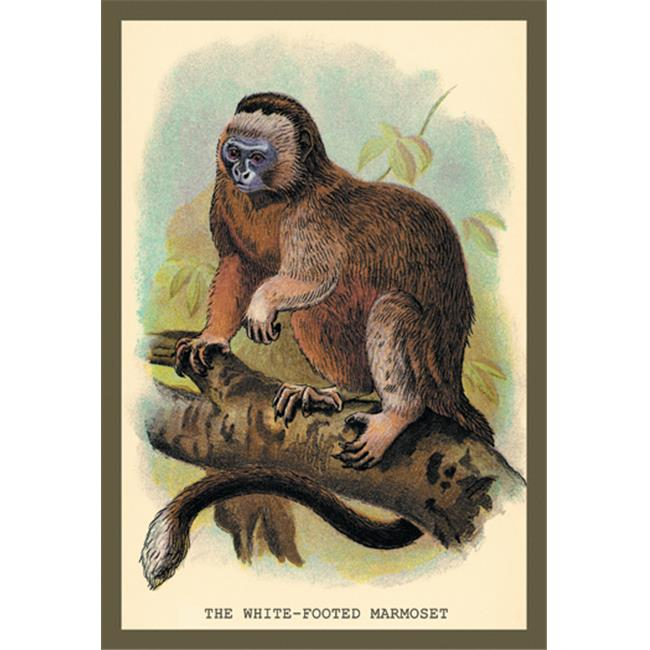 Buy Enlarge 0-587-15630-9P12x18 White-Footed Marmoset- Paper Size P12x18