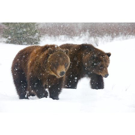 A Pair Of Adult Brown Bears Walk Through Falling Snow At The Alaska Wildlife Conservation Center Portage Southcentral Alaska Winter Captive Stretched Canvas - Doug Lindstrand  Design Pics (18 x (Best Shoes For Walking In Snow)