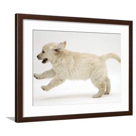 Golden Retriever Puppy, 9 Weeks Old, Running Framed Print Wall Art By Jane