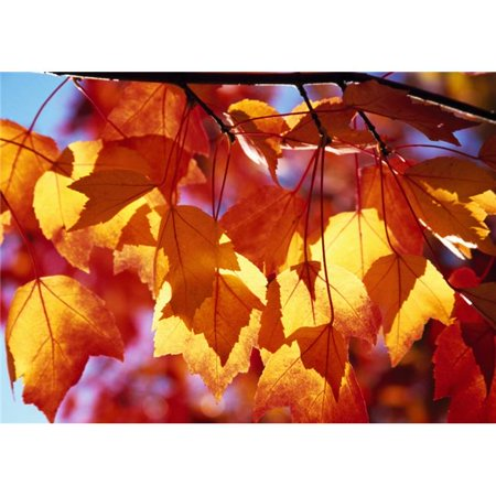 Posterazzi DPI1788374LARGE Autumn Leaves Poster Print by Natural Selection Craig Tuttle, 36 x 24 - Large - image 1 of 1