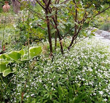 Sweet Woodruff Plant GaliumHerbGroundcover 4 Plants