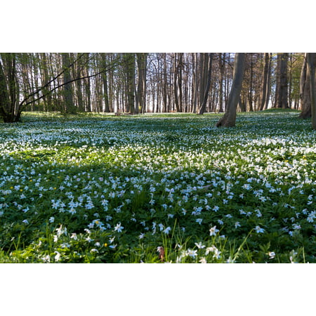 LAMINATED POSTER Beech Wood Flower Meadow Wood Anemone Forest Poster Print 24 x (Beech Flower)