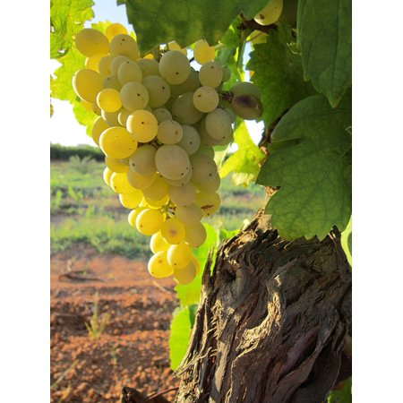 Summer Vine - LAMINATED POSTER Plant Vine Nature Fruit Summer Sun Grapes Wine Poster Print 24 x 36