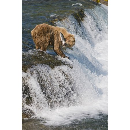 Adult Brown Bear Fishing For Salmon At Top Of Brooks Falls Katmai National Park Southwest Alaska Summer Canvas Art - Kenneth Whitten  Design Pics (22 x 34)
