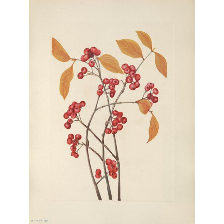 N American Wild Flowers 1925 Red Chokeberry fruit Poster Print by  Mary V Walcott