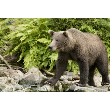 Adult Brown Bear Standing On The Rocky Shore Of Big River Lakes In Southcentral Alaska During Summer Canvas Art - Jim Kohl Design Pics (17 x 11)