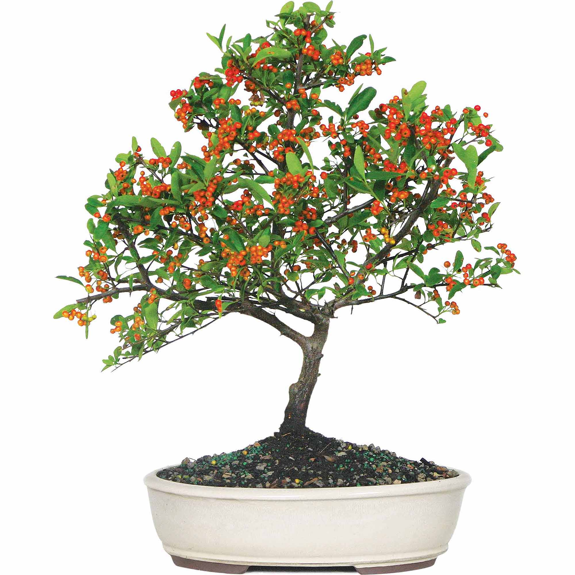 Brussel's Dwarf Pyracantha Bonsai Medium (Outdoor) by Brussel's Bonsai