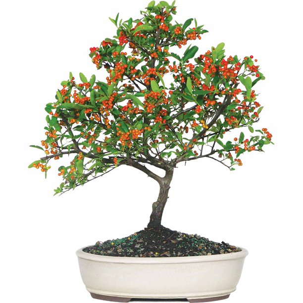 Brussel's Dwarf Pyracantha Bonsai - Medium - (Outdoor)