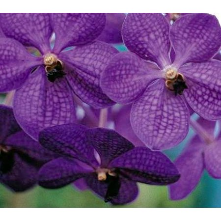 Strap Leaf Vanda Orchid Hawaiian Starter Plant   Approx  4   6 Inches Tall In 2 5 Inch Container   No Bloom  F1