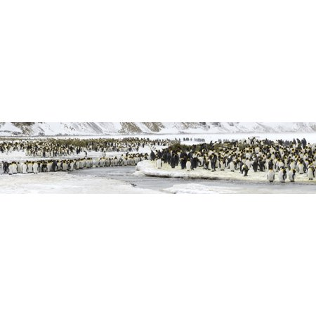 Colony of King Penguins (Aptenodytes patagonicus) mass along frozen stream Salisbury Plain South Georgia Island Stretched Canvas - Panoramic Images (27 x (South Plain Mall)