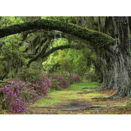 Stately Live Oaks, Quercus Virginiana, and Blooming Azaleas, Magnolia Plantation, Charleston, Sc Print Wall Art By Adam