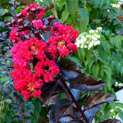 Black Diamond'® Best Red™ Crape Myrtle - Cannot Ship to