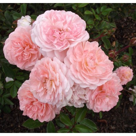 Apricot Drift Rose - Disease Resistant - 4