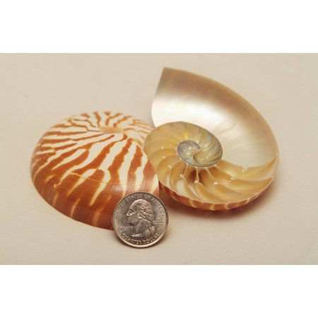 Natural Tiger Nautilus Shell Split, Fast shipping,sold by TT UP