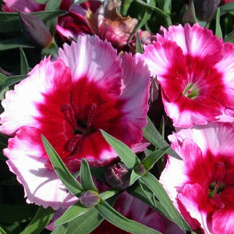 Dianthus Super Parfait Series Flower Seeds Raspberry 100 Seeds