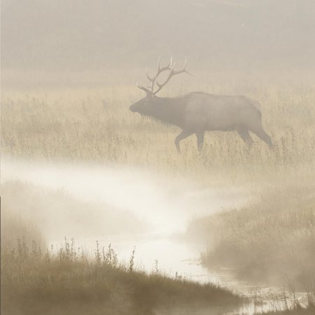 Bull Elk on foggy morning along Madison River, Yellowstone National Park, Montana, Wyoming Print Wall Art By Adam