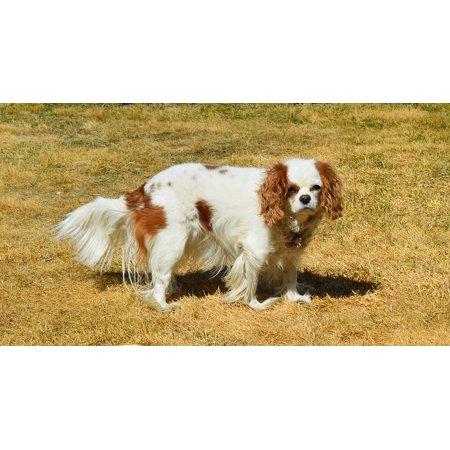 Cavalier King Charles Spaniel Dog (LAMINATED POSTER Spaniel Dog Cavalier King Charles Pet Canine Poster Print 24 x)