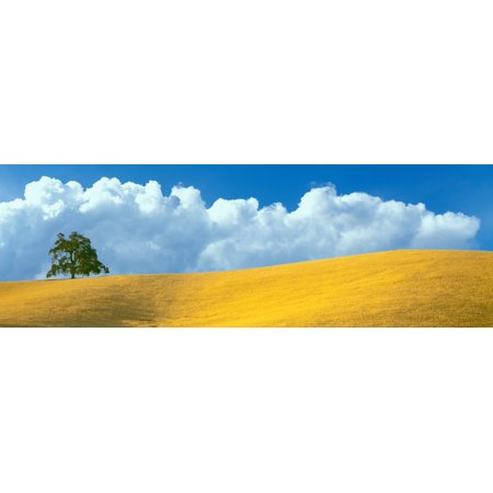 Lone Oak tree over grass at hillside Paso Robles San Luis Obispo County California USA Poster Print