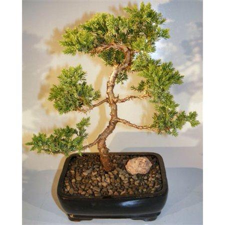 Juniper Karate Kid Bonsai Tree Medium Brijuniper Procumbens