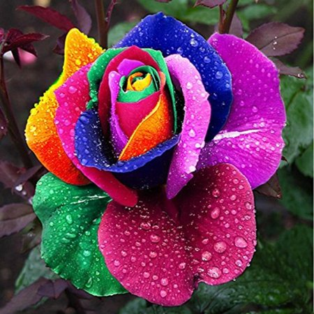 Dealglad 1000Pcs Beautiful Rainbow Rose Seeds Multi-colored Rose Seeds Rose Flower - Rainbow Flower