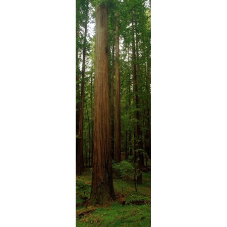 Giant Redwood Trees Ave of the Giants Redwood National Park Northern CA Canvas Art - Panoramic Images (18 x - Park Ave Dallas Halloween