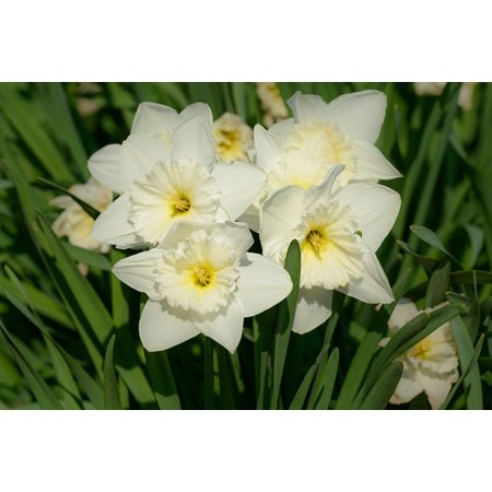 Flower Narcissus Spring Flowers Daffodils Daffodil Poster Print 24 X