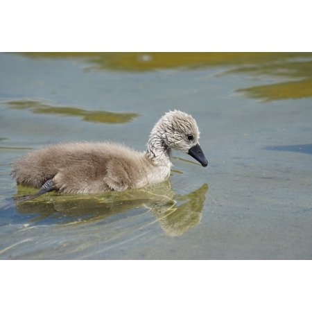Framed Art for Your Wall Young Animal Swan Vogelartig Chicks Mute Swan 10x13