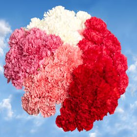 Globalrose 400 Fresh Cut Carnations For Mothers Day   Fresh Flowers Wholesale Express Delivery   Perfect Gift For Mothers Day