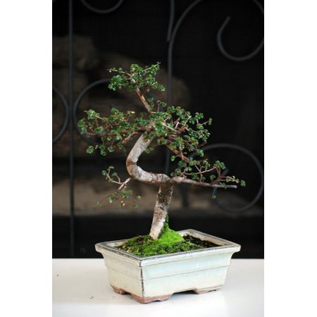 9GreenBox - Chinese Elm, Medium (Chinese Elm Bonsai)
