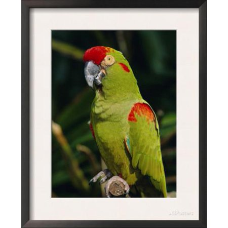 Red Fronted Macaw Portrait Framed Art Print Wall Art  By Lynn M. Stone - - Green Macaws Framed