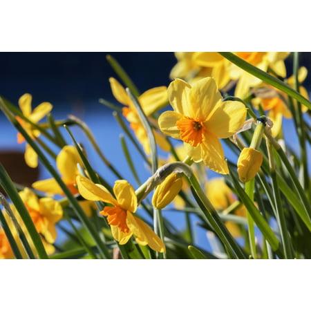 Daffodil Bulb - Orange and yellow daffodils in bloom in Kodiak Alaska seaside garden PosterPrint