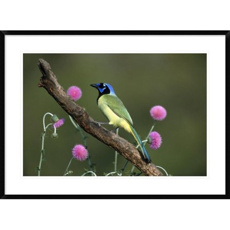 Global Gallery Green Jay Perching Framed Photographic Print