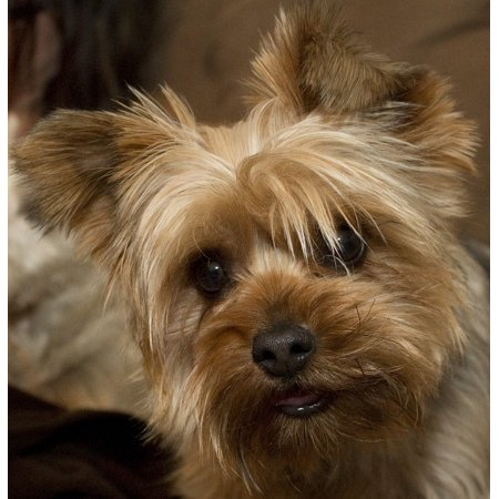 Canine Terrier Yorkie Yorkshire Terrier Dog Pet Poster Print 24 x 36 ()