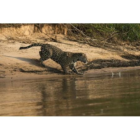 Jaguar (Panthera Onca) Female, Northern Pantanal, Mato Grosso, Brazil Print Wall Art By Pete Oxford