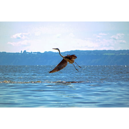 Canvas Print Water Bird Great Blue Heron Nature Animals Animal Stretched Canvas 10 x 14 ()
