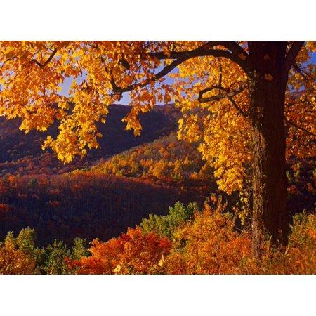 Autumn Deciduous Forest Shenandoah National Park Virginia Poster Print By Tim Fitzharris