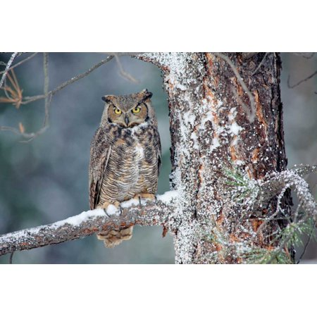 British Trees (Great Horned Owl adult perching in a snow-covered tree British Columbia Canada Poster Print by Tim Fitzharris)