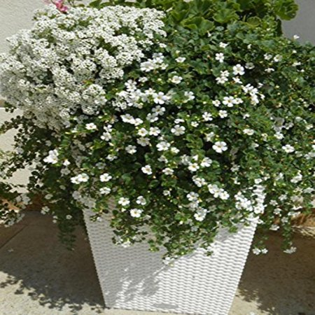 Babys breath seeds belaya white gypsophila elegans annual babys breath seeds belaya white gypsophila elegans annual flowers mightylinksfo