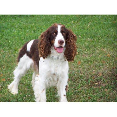 LAMINATED POSTER Springer Pet English Canine Dog Spaniel Poster Print 24 x 36 (Spaniel Dog Print)