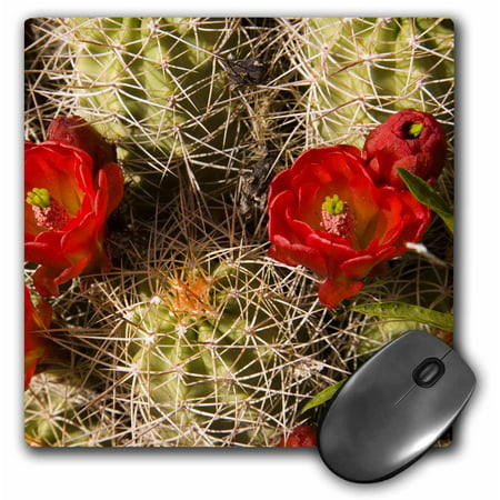 3dRose Claret cup cactus, Utah - US45 KPI0003 - Kristin Piljay, Mouse Pad, 8 by 8 inches