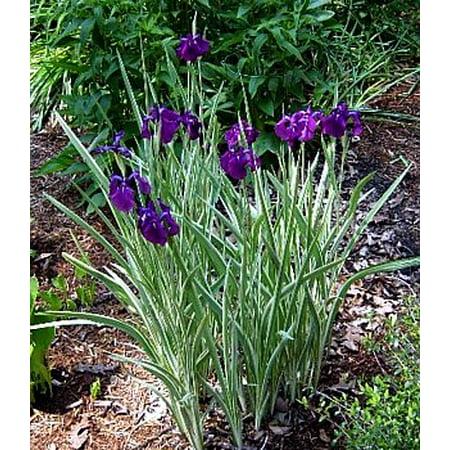 Variegated Japanese Iris ensata Plant - AGM WINNER - Ensata - Gallon Pot (Iris Pots)