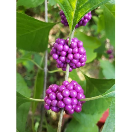 Beautyberry 20 seeds Beautiful BONSAI or small Shrub- Colorful Autumn Ornamental berries Zone 7+- Callicarpa (Best Plants For Zone 7)