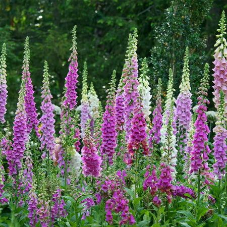 Mixed color foxglove digitalis flower seeds 1 oz perennial mixed color foxglove digitalis flower seeds 1 oz perennial flower garden seeds digitalis purpurea walmart mightylinksfo