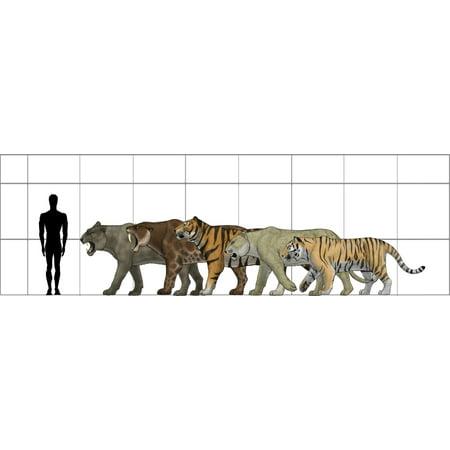 Big felines size chart featuring Panthera leo atrox Smilodon populator Panthera tigris acutidens Panthera leo spelaea and Panthera tigris altaica Poster Print - Pet Size Chart