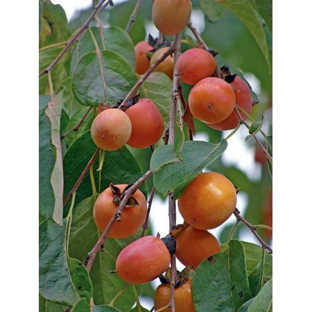 - American Persimmon Tree - Diospyros virginiana - Gallon Pot - Very Hardy