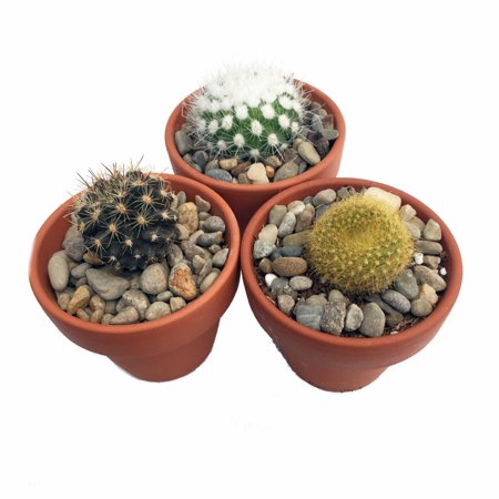 Instant Cactus Collection - 3 Different Plants - 3