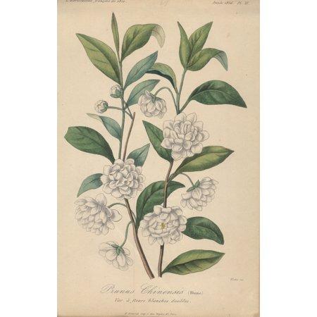 FRANCOIS HERINCQ Prunus Chinensis (Blume), Var a fleurs blanches doubles 9.5