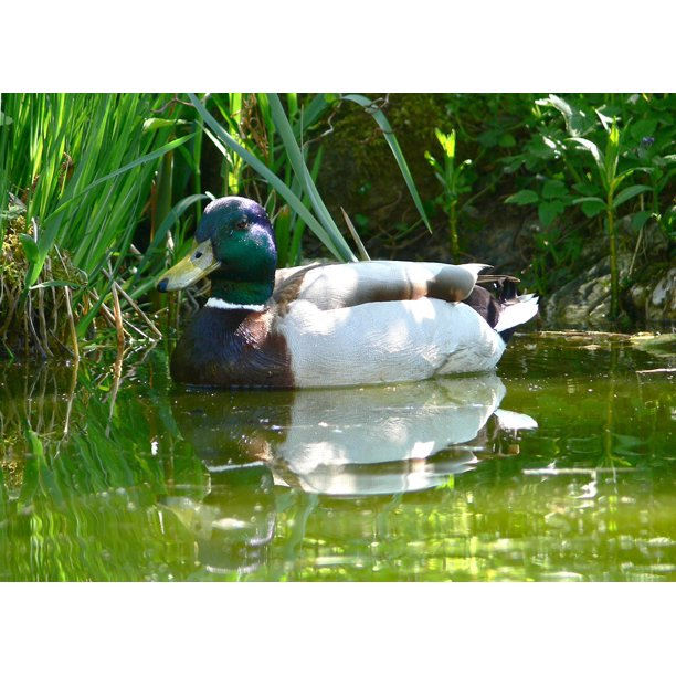 Garden Pond Drake Water Bird Duck Animal Water-24 Inch By